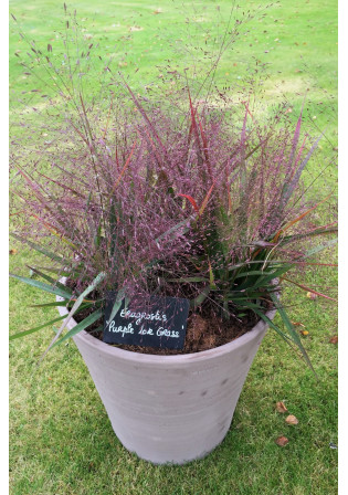 Eragrostis 'Purple Lovegrass'
