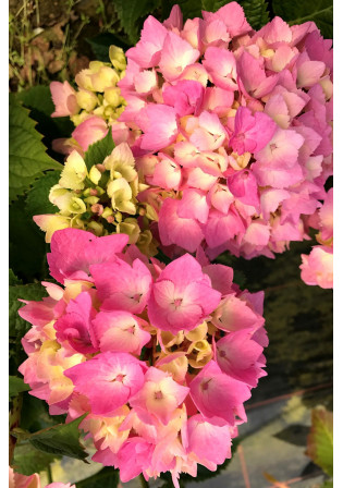 Hortensia 'Dolce Chic'