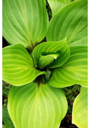 Hosta 'Purple Heart'