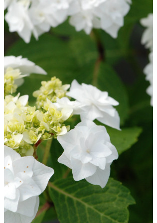 Hortensia 'Wedding Gown'