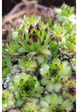 Sempervivum 'Black Top'
