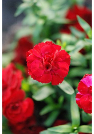 Oeillet 'Oscar® Dark Red'