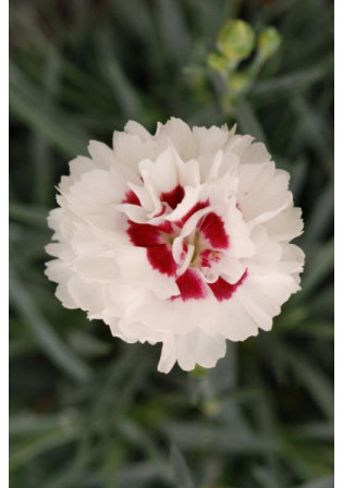 Oeillet - Dianthus Scent First® 'Coconut Sundae'