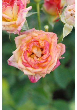 Rosier Kordès® 'Little Sunset®'