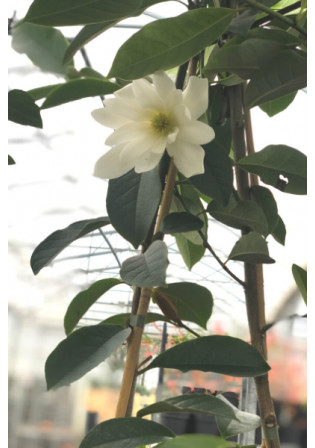 Magnolia 'Fairy Blush White'